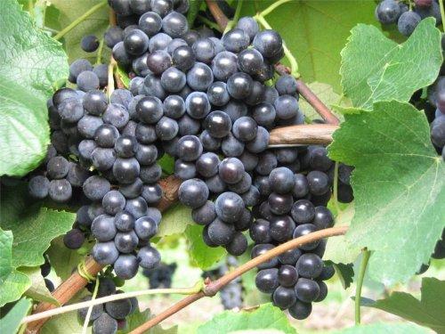 Vitis labrusca Isabella Weinrebe Erdbeertraube | Weintraube Tafeltraube hohe Pilzresistenz