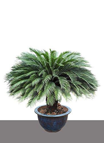Seedeo Japanischer Palmfarn (Cycas revoluta) 2 Samen