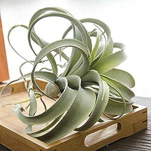 C.W.USJ Artificial Plants Cilected Tillandsia Air Plants Flocking Fake Bromeliads Artificial Plant Hanging Simulation Plants for Wall Decoration Artificial Flower