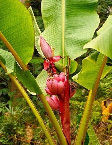 Violet: 100 / Sac banane Graines Graines rares fruits Hainan Big Banana rose Graines Musa velutina - Graines naines Rose Banana