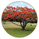 Acero rosso giapponese/A. giapponese/A. palmatum atropurpureum / 50 semi/albero e bonsai adatti