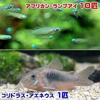 (熱帯魚)アフリカン・ランプアイ(10匹) + コリドラス・アエネウス(1匹) 北海道・九州・沖縄航空便要保温
