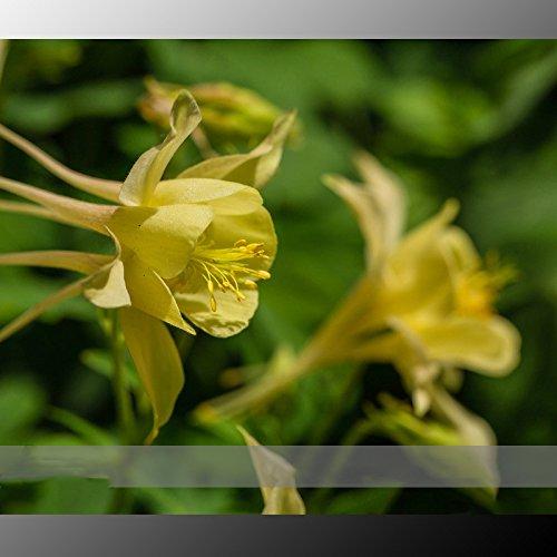 (Ancolie 24 Type * Ambizu *) Rare Garden Columbine (Aquilegia) Graines, Paquet professionnel, 100 graines/Pack Plantes vivaces Herbes (Aquilegia 13)