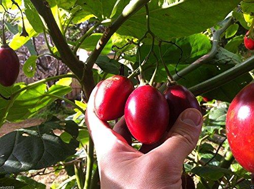 30 Tamarillo Graines akaTree tomate bio, semences non OGM