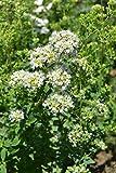 AGROBITS 500 Seas de Origan Griego (Origanum subsp. Rtum) voir