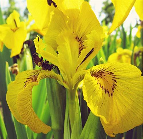 Vrilles vivaces Iris bulbes - décoration balcon famille bonsaï/fleurs de jardin parfumées - ampoules saines en pot (2, jaune)