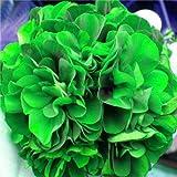 Bloom Green Co. 50 piezas de flores de geranio bonsai de colores raros bonsais de geranio abigarrado en macetas en interiores Flor de jardín de casa para plantas de bonsáis: 21