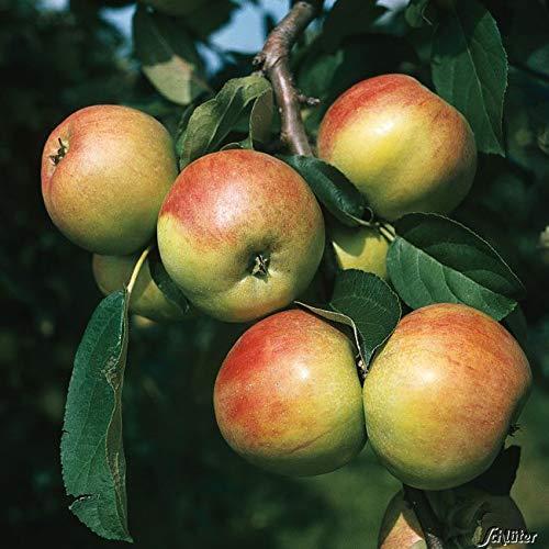Apfel Gravensteiner- Malus - Winterhart - Fruchtreife September bis Oktober - Liefergröße circa 120cm als Containerpflanze