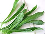 HONIC Samen-Paket: Culantro Samen, Recao, A.K.A; vietnamesischer Koriander, Thai Petersilie, NGO GAI, Shadon Beni (1000 Seeds)