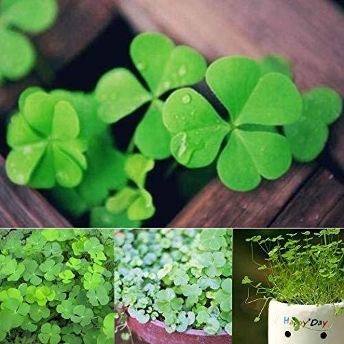 Acecoree Samen Haus- 50 Stück Kleesamen,Glücksklee Garten Pflanzen Saatgut winterhart mehrjährig Kräuter pflanzen (50 Stück)