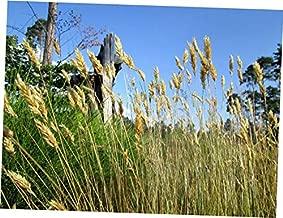 OPY 150 Pcs Seed Sweet Grass Vanilla Grass Anthoxanthum Odoratum Seeds Sweet Vernal Grass - EB277