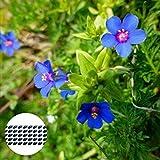 Benoon Semillas De Pimpinela Azul, 50 Piezas/Bolsa Semillas De Pimpinela Azul Plantas De Semillero De Plantas Florales Oranamental Anuales Viables Naturales Para Parterre Semilla