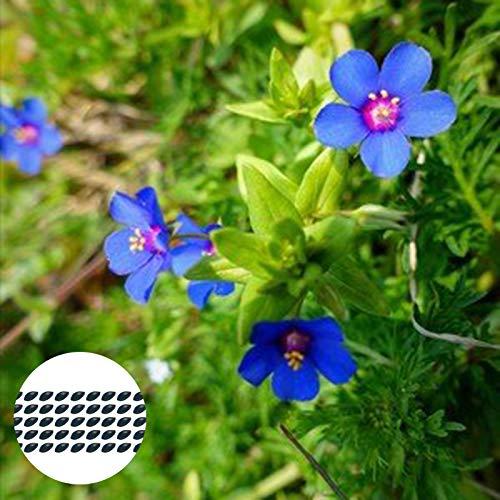 Steelwingsf 50 Stück/Beutel Blue Pimpernel Seeds Natural Viable Annual Oranamental Floral Plant Sämlinge Für Parterre Garden Flowers Samen Für Das Pflanzen Im Freien Samen