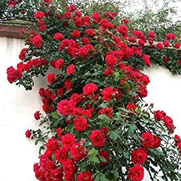 Potseed . Seltene Kletterrose Perennial Blumen-Garten-Dekoration 50Pcs Zaun Schuppen Rose-Blumen-Semillas De Plantas De Flores: 2