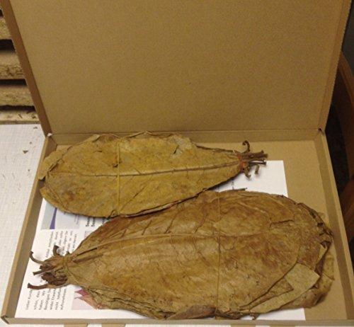 ~ 35 Seemandelboomblaadjes 25-30 cm (= 100 gram) zeemandelboomblaadjes origineel A-merkproduct van SMJS-Cambodia ZONDER ZENDING in doos Seemandelbladeren Catappa Leaves