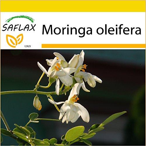 SAFLAX - Anzucht Set - Moringa - 10 Samen - Mit Mini-Gewächshaus, Anzuchtsubstrat und 2 Töpfen - Moringa oleifera