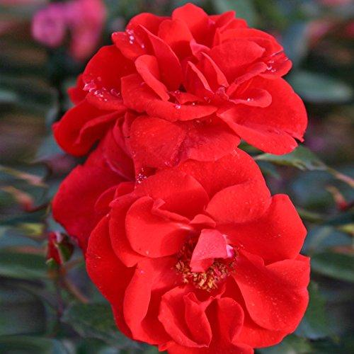 Kordes Rosen Brillant Korsar Strauchrose, rot/orange, 12 x 12 x 40 cm