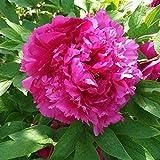 3 Piezas Peonía Bulbos Alto Valor De Apreciación Exóticos Especiales Perenne Impresionante Raíz De Balcón Arbusto Fragante Peonías Rizoma Para Plantar En El Patio Del Jardín