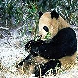 ZAWAGU Pintura diamante bricolaje 5D punto de cruz set de regalo lindo panda aguja artesanía ronda mosaico animal patrón diamante redondo