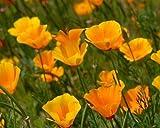 Heirloom 1000 Graines de pavot Californica Cham capitonné Eschscholzia jaune d'or en vrac Fleur Graines S059