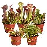 Swampworld Fleischfressender Pflanzen - 5 Stück - Topfgröße Ø 9