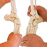 Erler Zimmer Beinskelett, Menschliches Bein, Anatomie Modell mit Beckenhälfte u flex. Fuß -