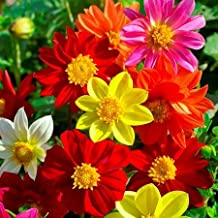 Dahlia Seeds - Mixed Mignon - Packet, Mixed Colors, Flower Seeds