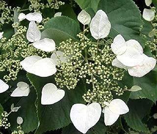 schizophragma hydrangeoides japanese hydrangea vine