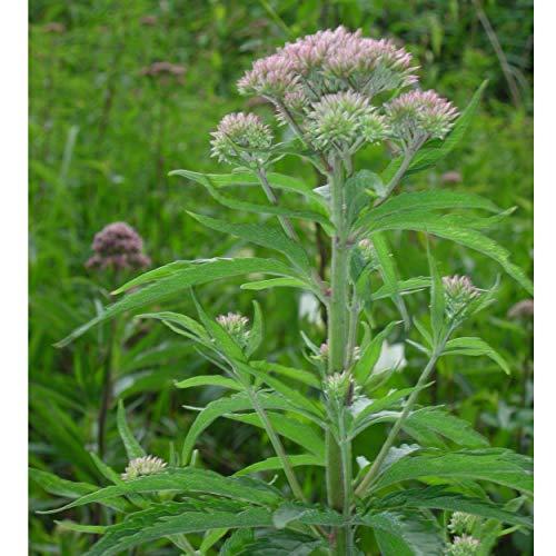 Blumixx Stauden Eupatorium cannabinum - Wasserdost lachsrosa