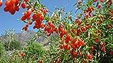 zumari 150 semillas de bayas de Goji