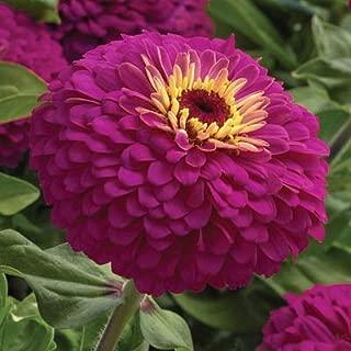 Zinnia Uproar Rose Seeds - Flower Seeds Package - 250 Seeds