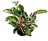CALATHEA FUSION WHITE, VASO 15CM, MARANTA, pianta vera