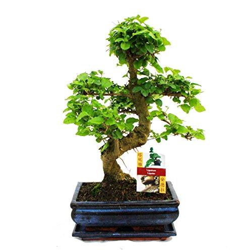 exotenherz - Bonsai Chinesischer Liguster - Ligustrum sinensis - ca. 8 Jahre