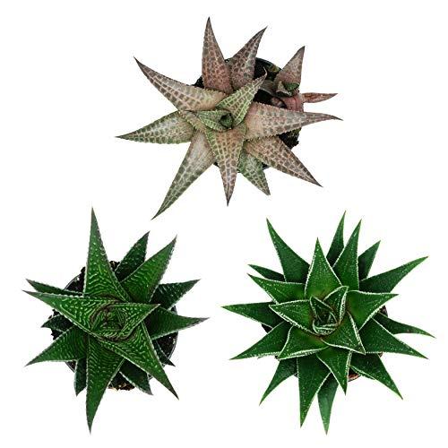 Pasiora Haworthia Mix im 6cm Topf, verschiedene kleine Pflanzen, Geschenkset für einen schattigen Standort, 3 Stück