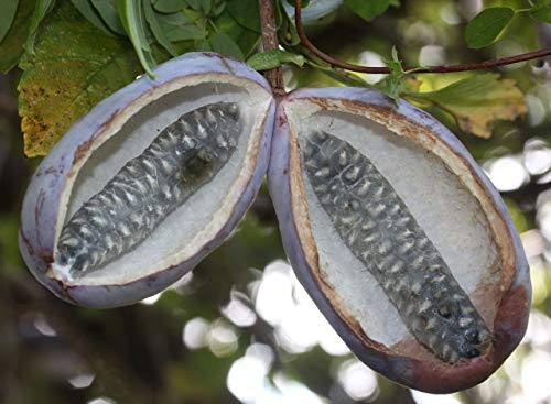 Asklepios-seeds® - 25 Samen Akebia quinata, Schokoladenwein, Fingerblättrige/Fünfblättrige Akebie