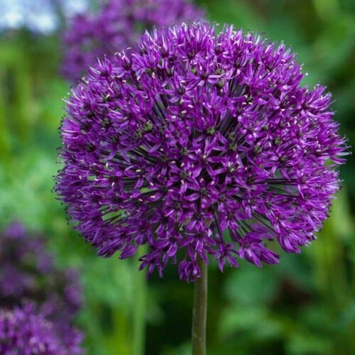 20 Allium Purple Sensation, Frühlingszwiebeln, größere Blumenzwiebeln, größere Blumen.