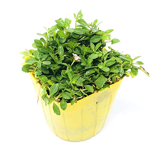 クラピア K7 9cmポット苗 40鉢セット 完全植栽マニュアル付き 白系統 グランドカバー スーパーイワダレソウ