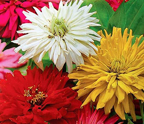 Chrysanthemum zinnia - mélange de variétés - graines