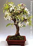 TROPICA - Manzano chino de Hall (Malus halliana) - 30 semillas- Bonsai