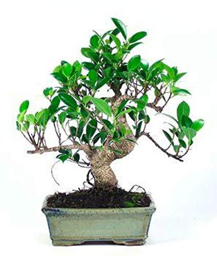 Bonsái Ficus Retusa 8 Años Bonsái de Árbol Ficus Ficus.