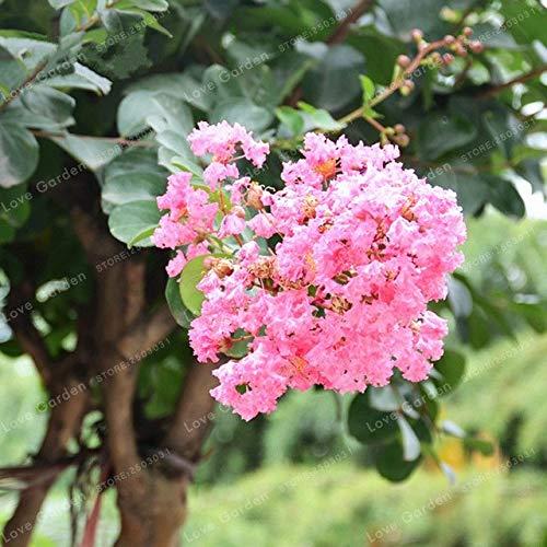 Bloom Green Co. Crape Myrtle Lagerstroemia Indica & # 39; Natchez & # 39; Flores perennes Bonsai Patio Myrtle Flores Jardín de casa Maceta 100 pcs/bolsa: 2: Amazon.es: Jardín