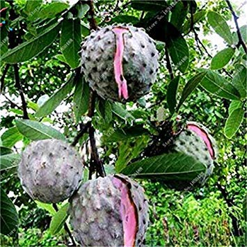 Vistaric Japon Bonsaï Annona Graines De Corossol Heirloom Sweetsop Graines De Plantes En Pot Juteux Graines De Fruits Succulentes Rare En Plein Air Arbre Vivace 5 Pc 10