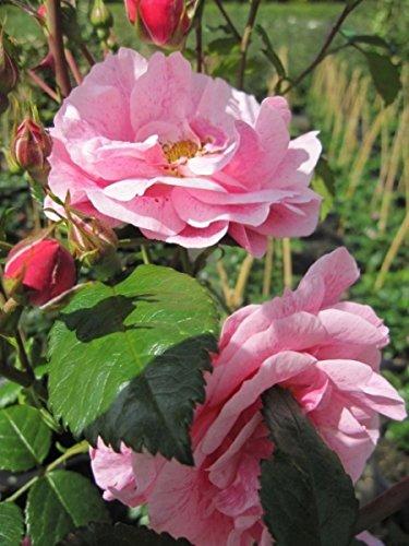 Kletterrose Camelot® - Rosa Camelot® - zartrosa - Duft++ - Tantau-Rose - ADR-Rose