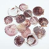 Quahog Clams Seashells