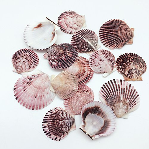 Deep Scallop Sea Shells, 2-3/4 Inch ~ 3-1/2 Inch