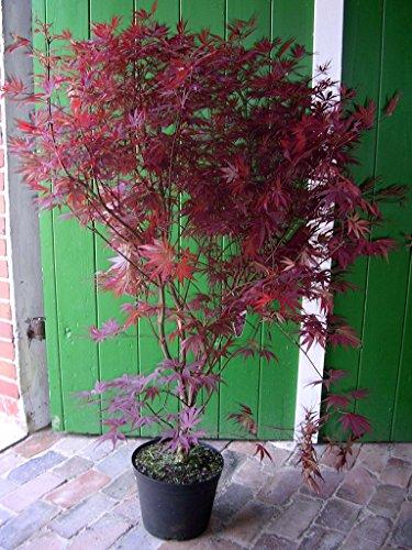 Roter Fächer-Ahorn, Höhe: 130-140 cm, Sorte: A. palmatum Atropurpureum + Dünger