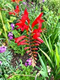 3 x Crocosmia 'Lucifer' (Montbretia) (Corms) (to Plant Yourself) Free UK Postage