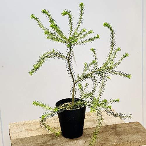 観葉植物 鉢花 苗:バンクシア エリシフォリア*ヒースバンクシア 5号