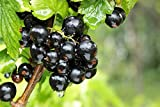 Schwarze Johannisbeere 15 Samen (Ribes nigrum)
