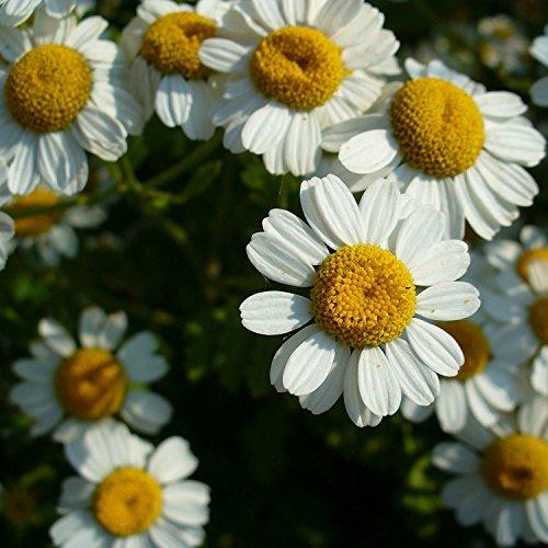 Mutterkraut - Tanacetum parthenium - Bienenweide - Falsche Kamille - Fieberkraut - Arznei- + Zierpflanze - 500 Samen